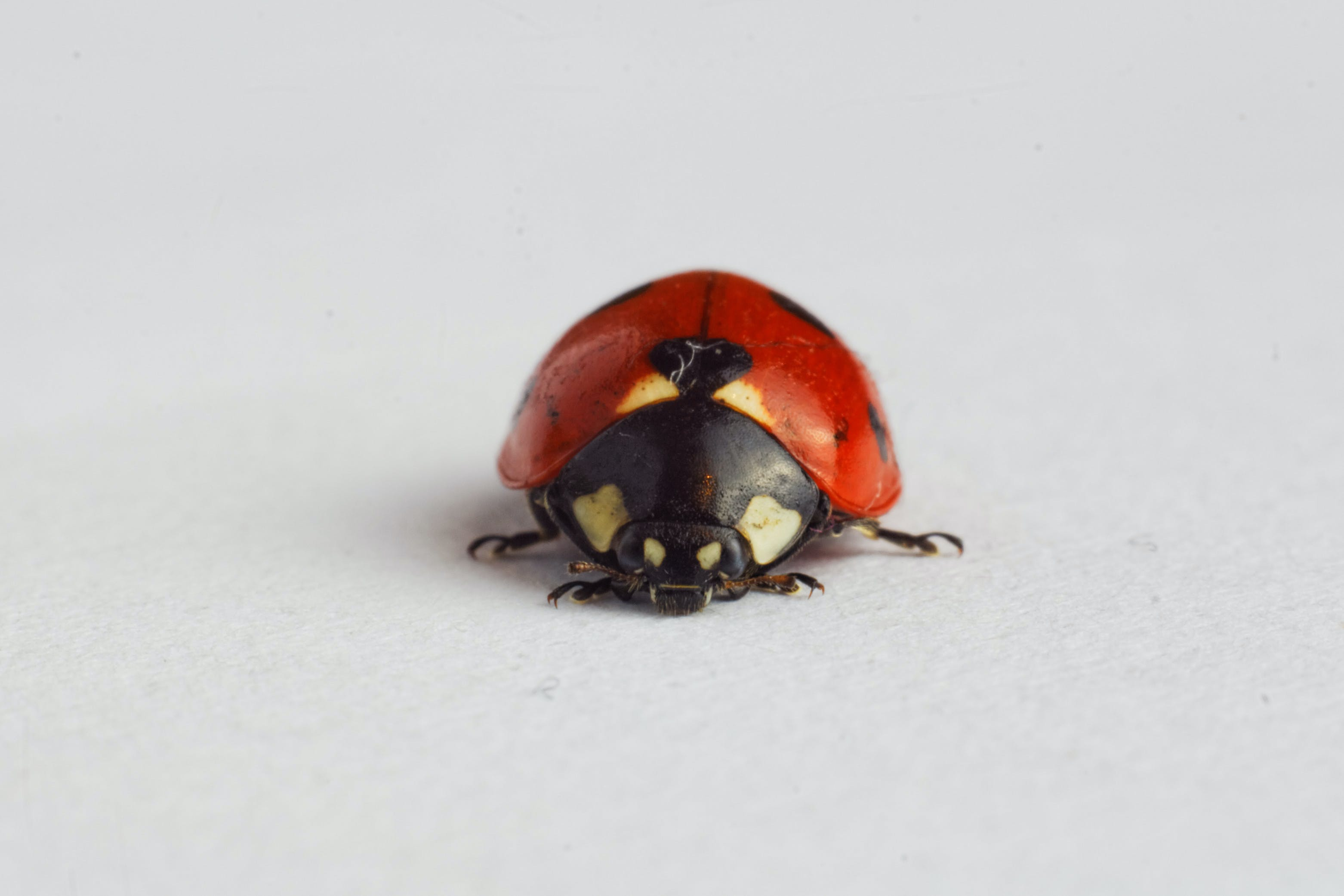 Ladybug on White Surface