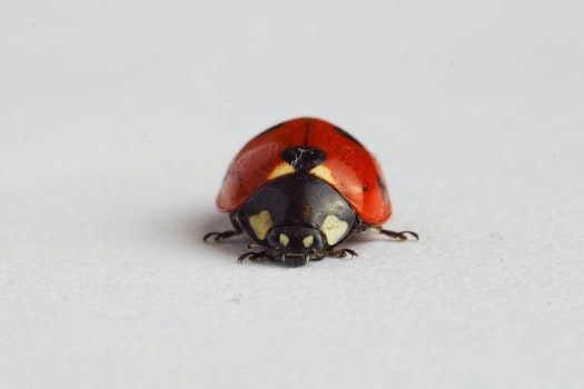 Free stock photo of animal, insect, ladybird, closeup