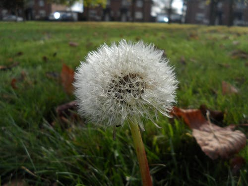 Free stock photo of dandelion, green, plant, seeds