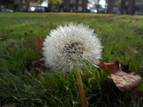 Free stock photo of dandelion, green, plant, seeds