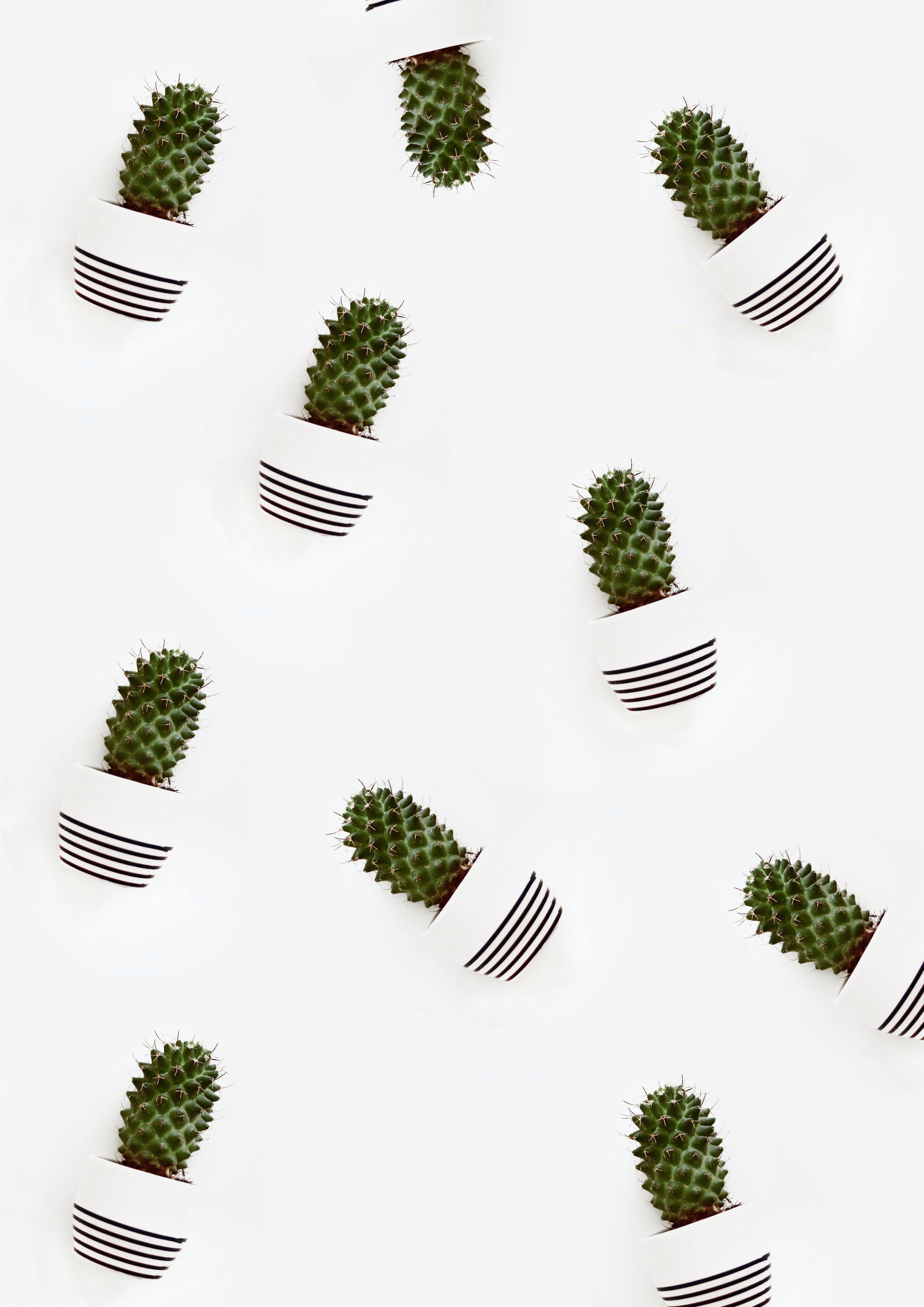 Cactus Plants on Plant Pots