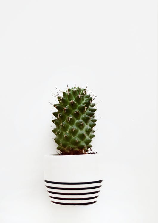 huonekasvi, kaktus, kasvi