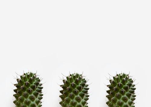 Close-Up Photo of Three Cactus