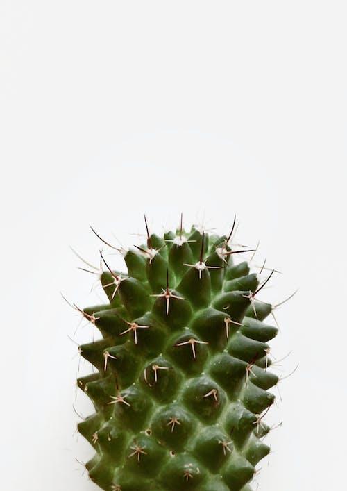 Základová fotografie zdarma na téma kaktus, ostny, pokojová rostlina, rostlina
