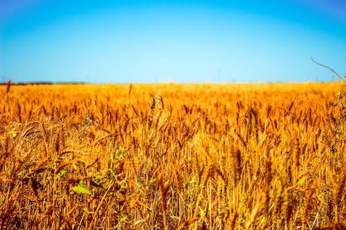 Imagine de stoc gratuită din câmp, fermă, grâu, lan de grâu