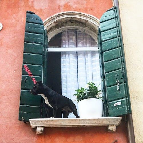 Kostenloses Stock Foto zu #venice #dog #window #street view
