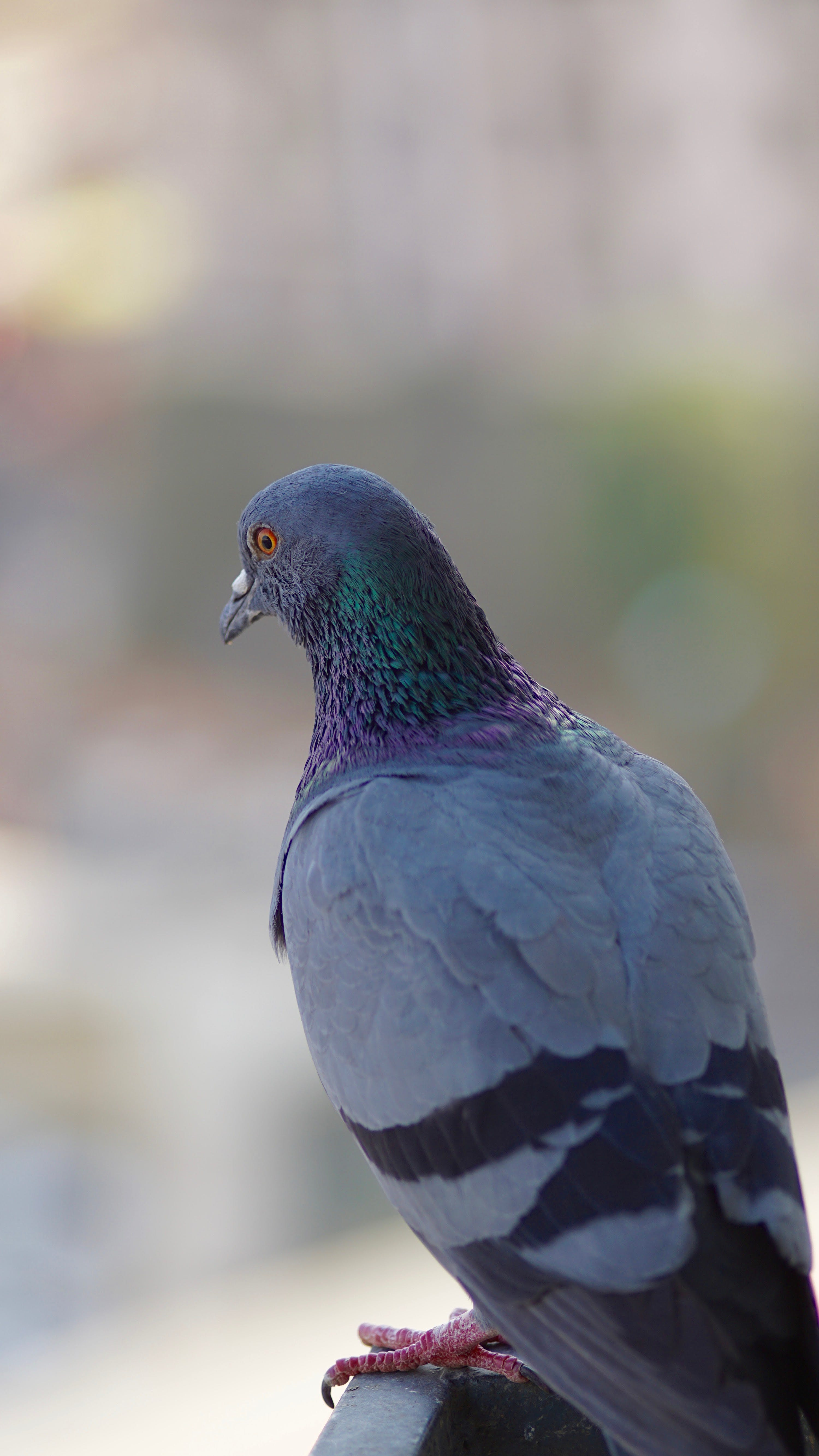 Foto stok gratis abu, berfokus, binatang, burung dara
