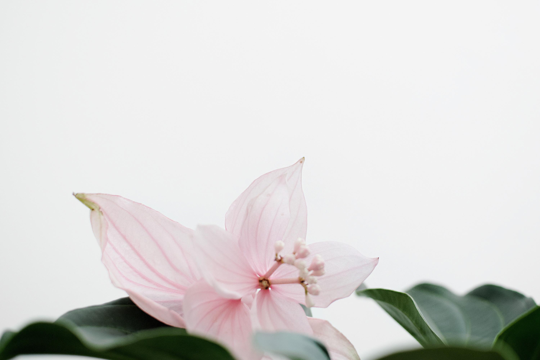 Pink Petaled Flower