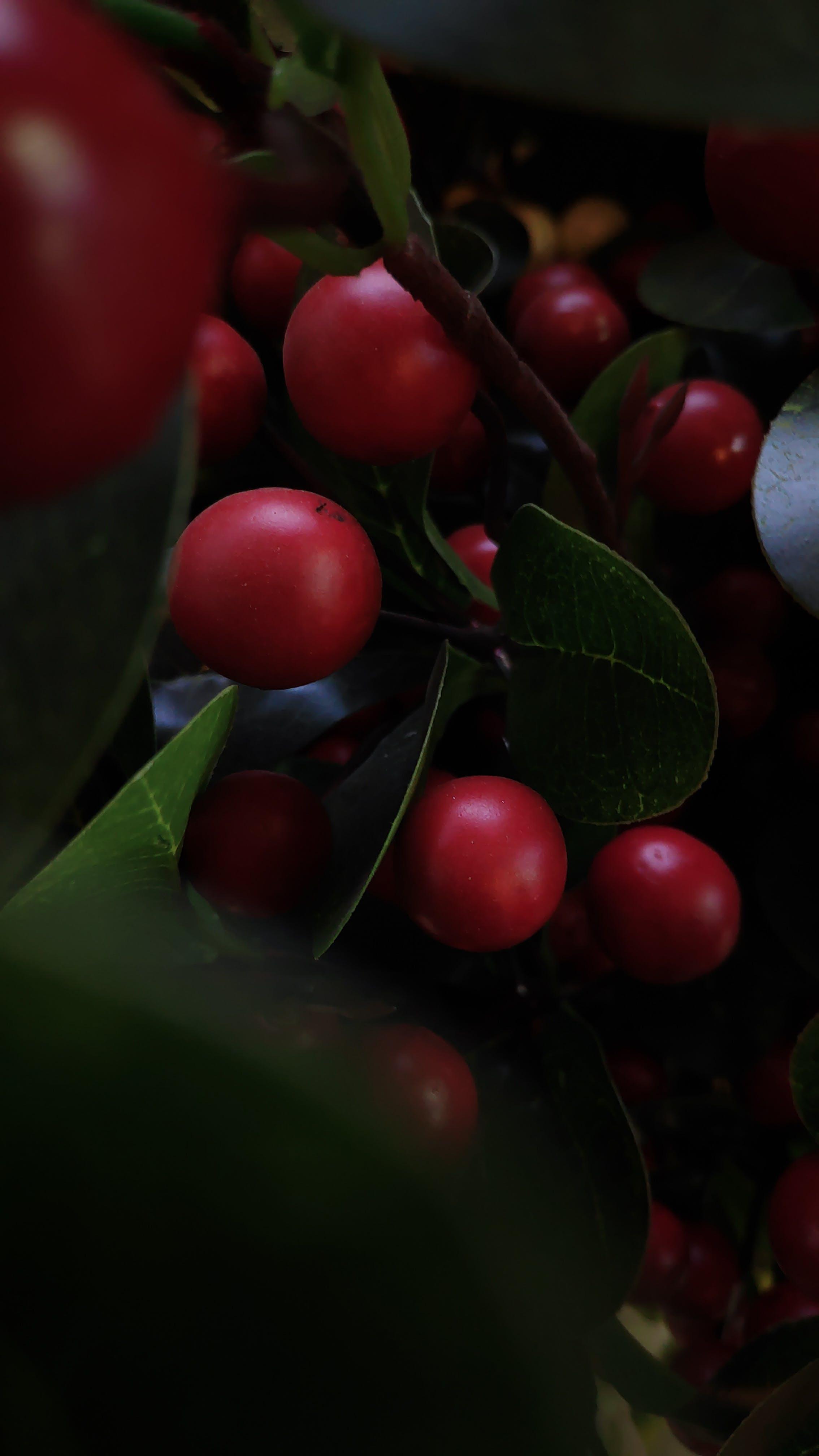 Free stock photo of cherry, dark, green leaf, red berries