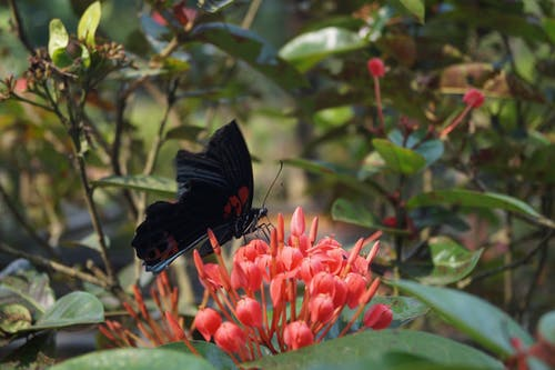 Free stock photo of black, butterfly, butterfly on a flower