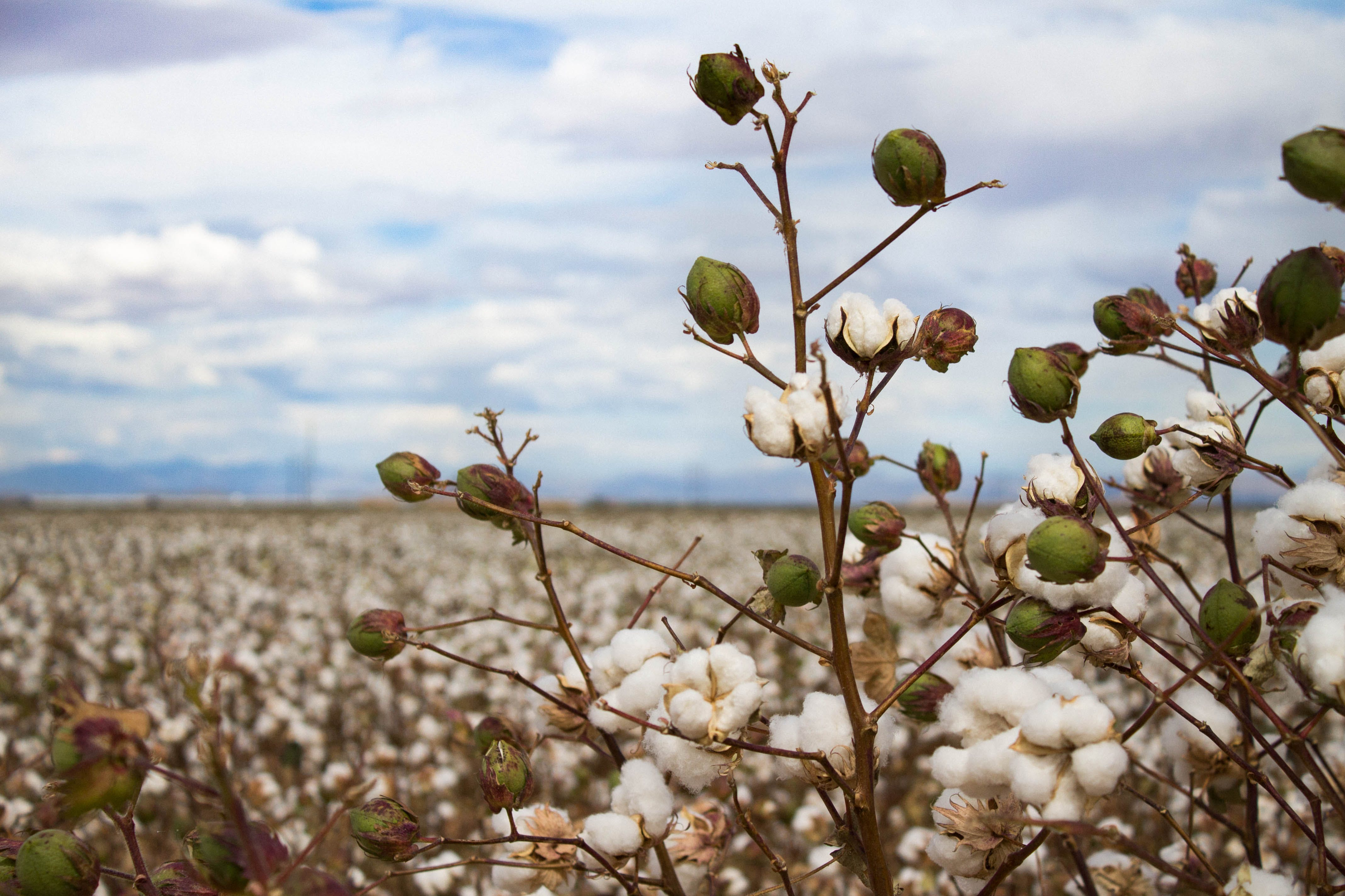 Free stock photo of cloudy sky, cotton, fall, field