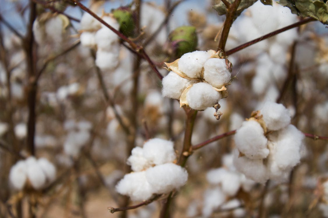 Free stock photo of cotton, depth of field, field