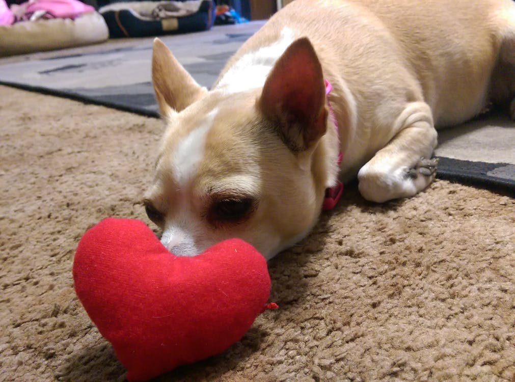 amore, chihuahua, cuore