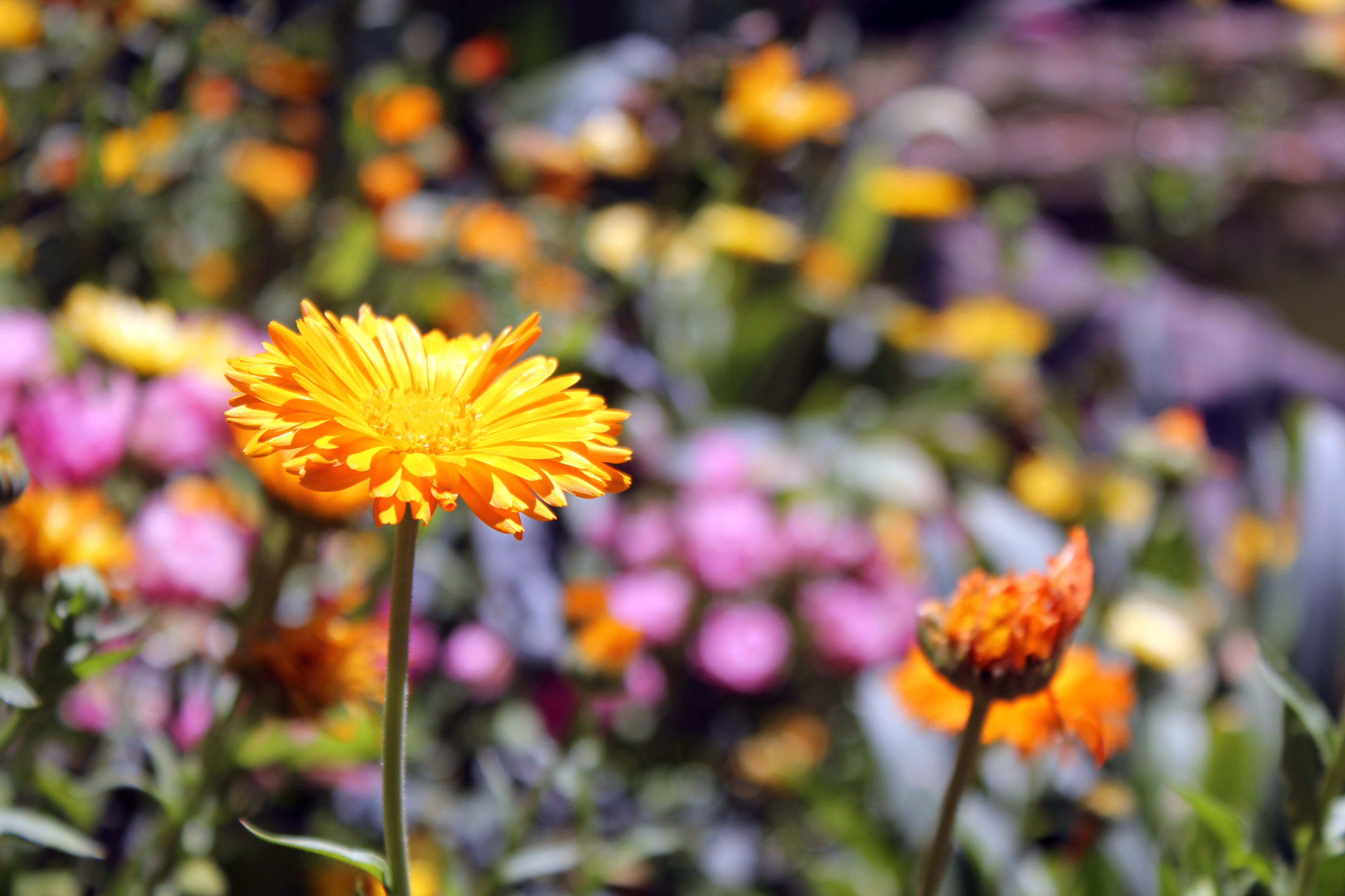 Free stock photo of flowers, yellow daisy