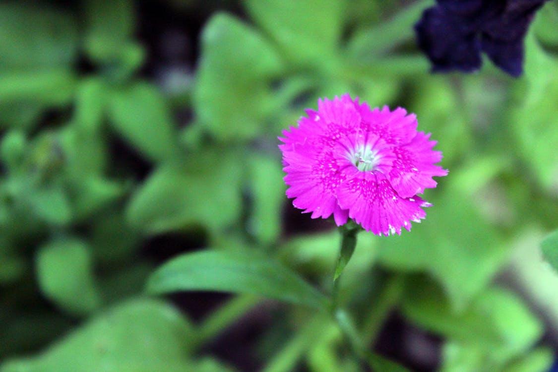 lila blomma, magenta blomma