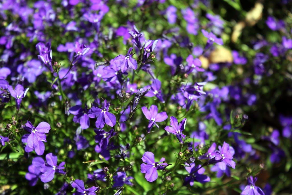 μοβ λουλούδι