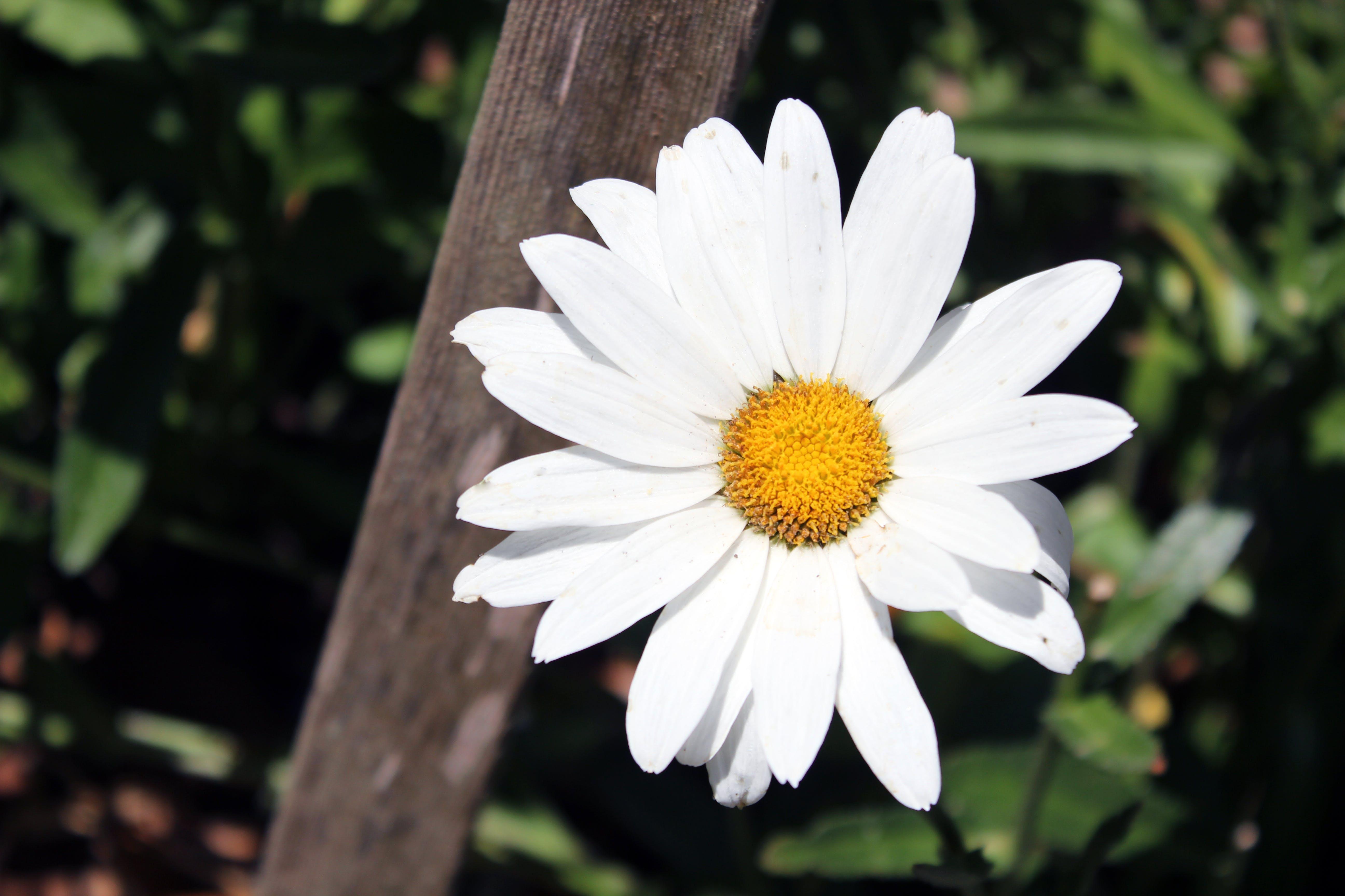 Free stock photo of daisy, flower
