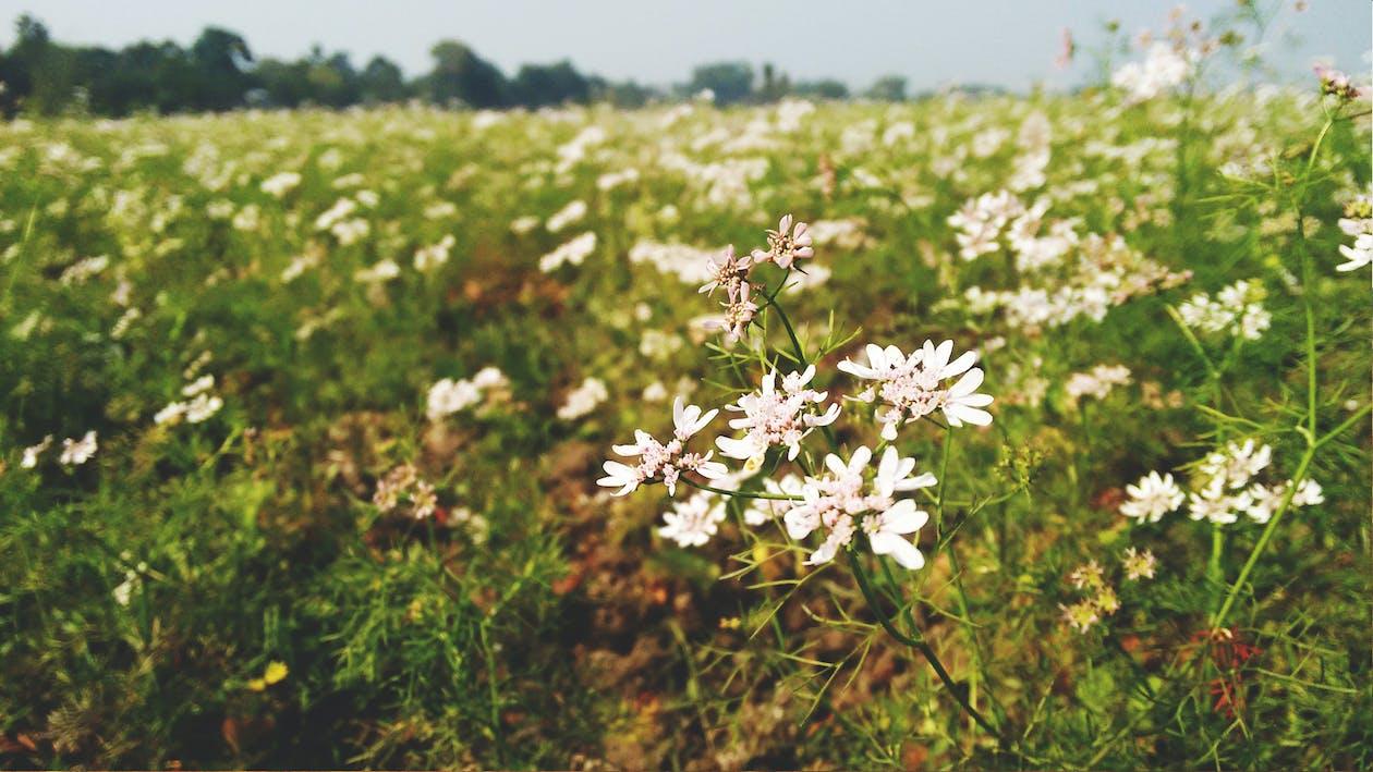 blomma, coriender, fält