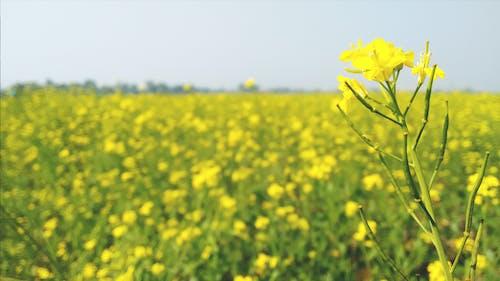 คลังภาพถ่ายฟรี ของ musted, ดอกไม้สีเหลือง, ท้องฟ้า, ที่มุ่งเน้น
