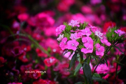 Free stock photo of beautiful flower, pink flower