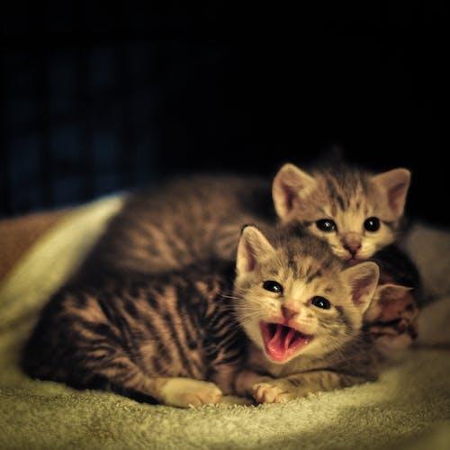 Ảnh lưu trữ miễn phí về dễ thương, mèo con, ngáp