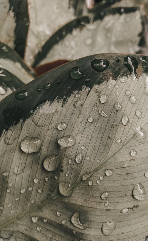 Dew Drops on Gray Leaf