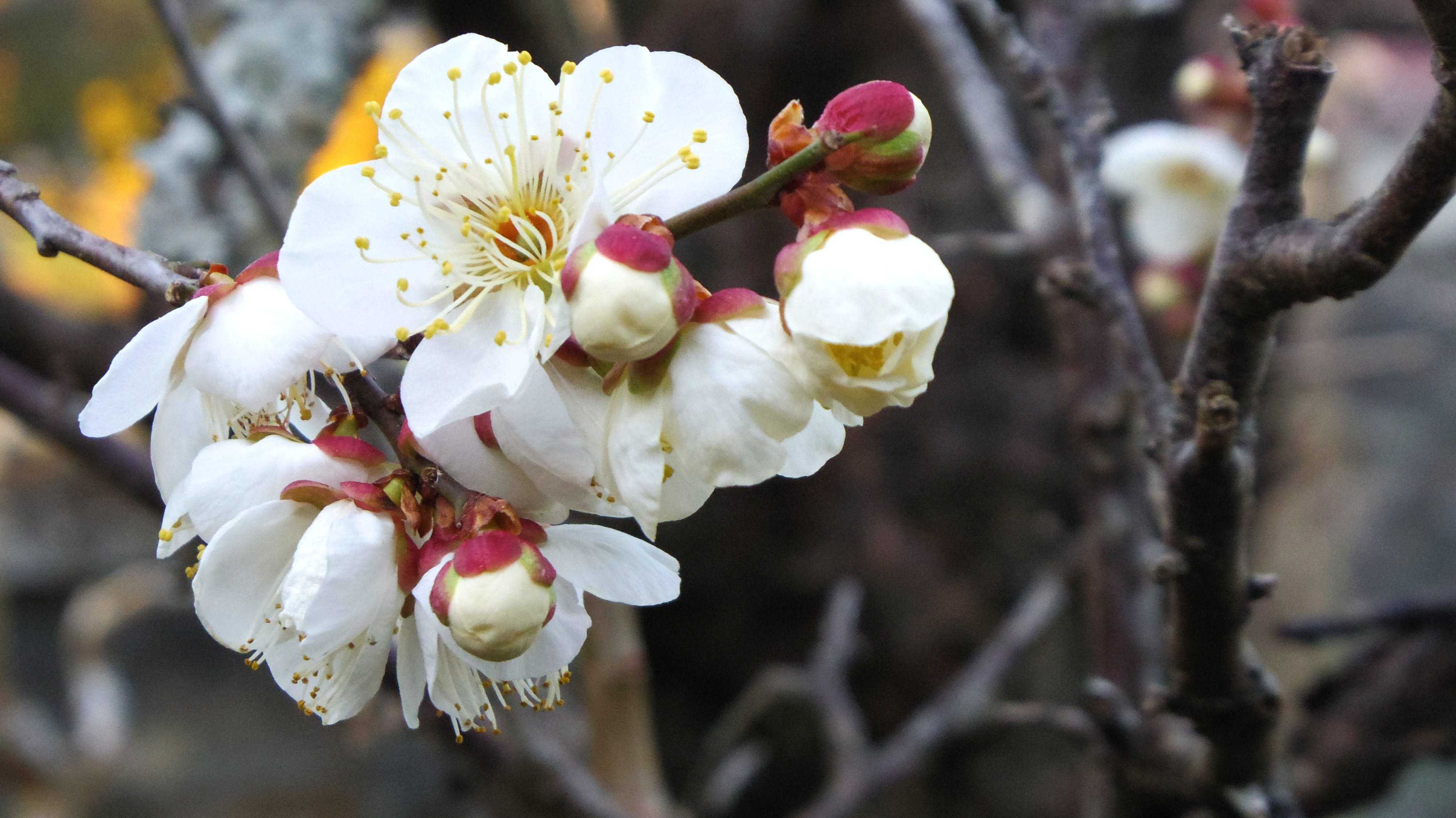 Free stock photo of blossoms, plum