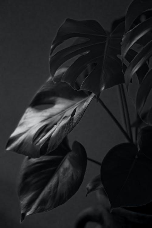 завод, комнатное растение, монохромный