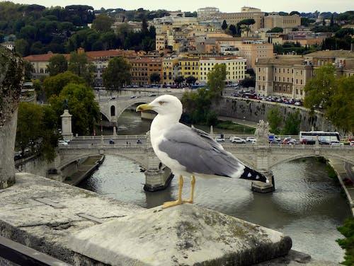Foto d'estoc gratuïta de castell de sant angelo, gavina, möwe, Roma