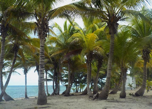 ケイマン諸島, ビーチ, ヤシの木, 砂の無料の写真素材