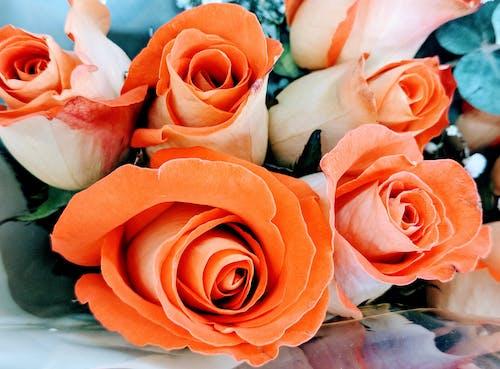Ingyenes stockfotó korall virágok, őszibarack rózsák, rózsák, virágok témában