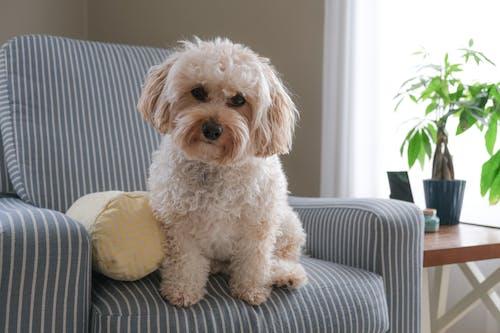 Ilmainen kuvapankkikuva tunnisteilla cavalierkingcharlesinspanieli, koira, koiranpentu, nojatuoli