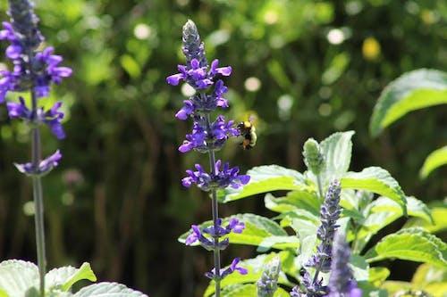 Foto d'estoc gratuïta de abella, animal, aromàtic, camp