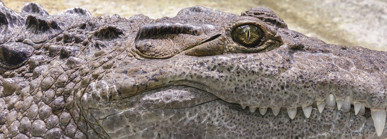 Cá sấu, cận cảnh, con vật
