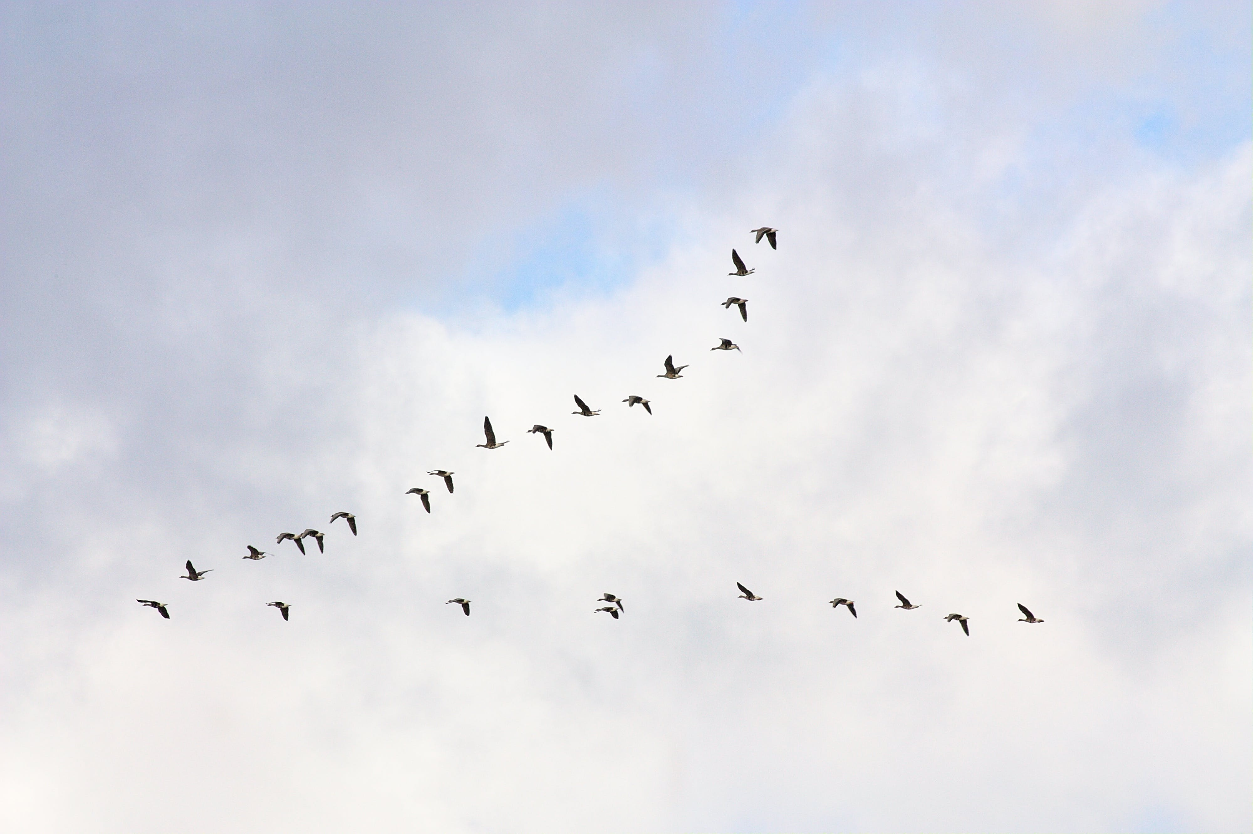 Free stock photo of birds in formation, flying geese, geese
