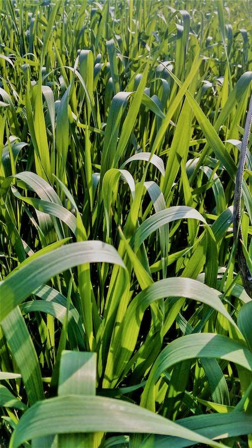 Imagine de stoc gratuită din câmpuri de orez, culturi, grâu, un peisaj verde