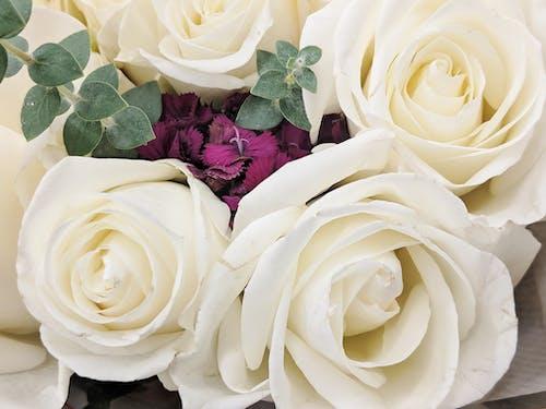 Ingyenes stockfotó amberlamoreaux, fehér és lila virágok, fehér rózsák, fel rózsák témában