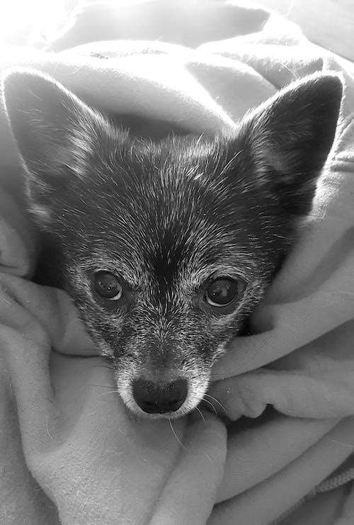 Foto profissional grátis de #dog #chihauhau #sleep #cute