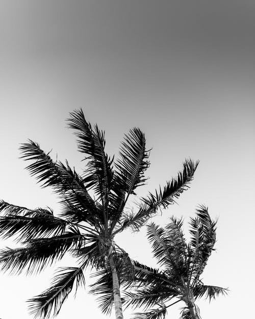 Monochrome Photo of Palm Trees