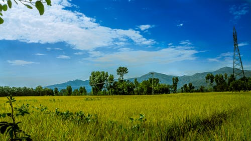Green Rice Field Surrounded by Trees Under Clear Blue Sky