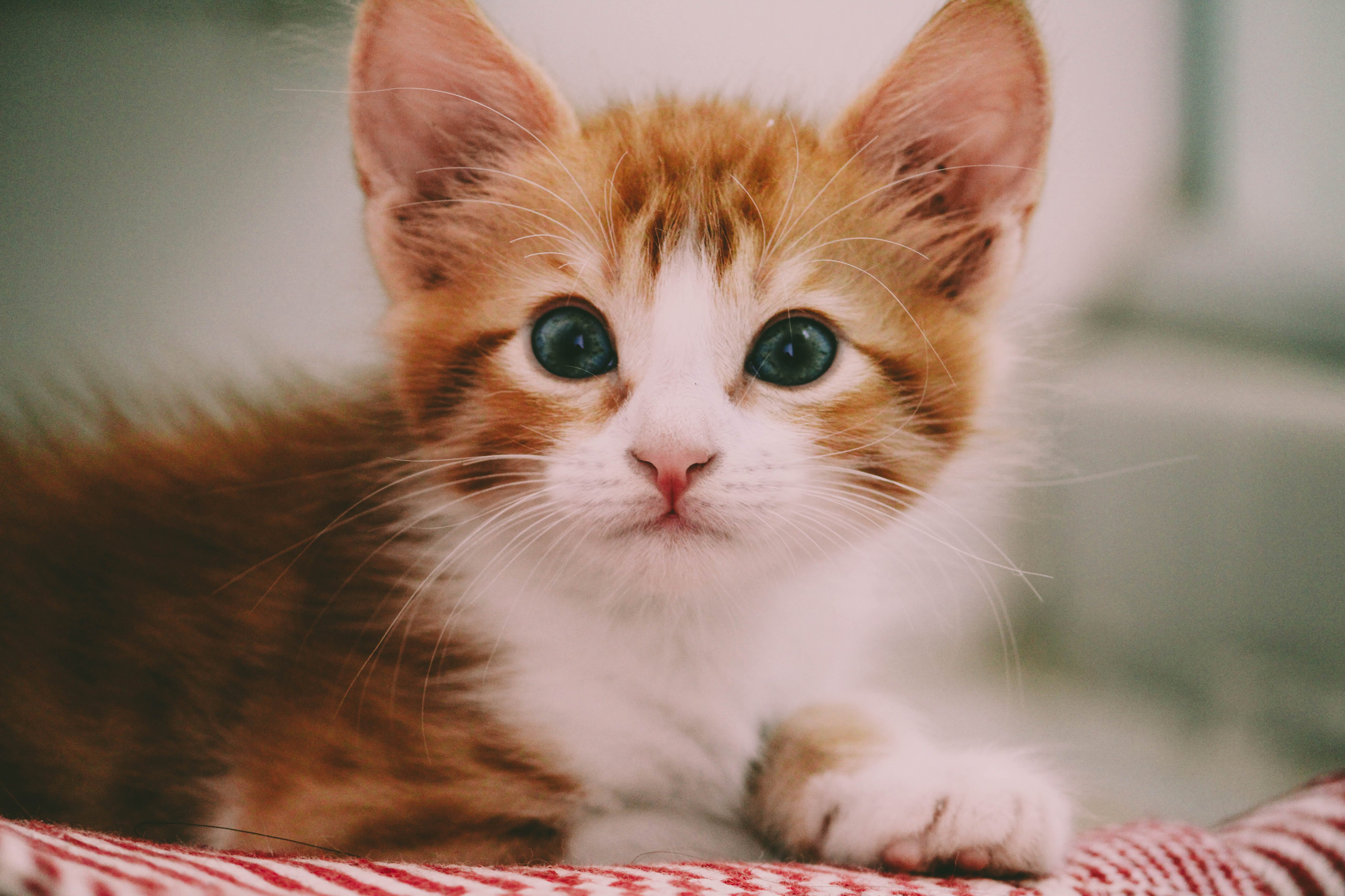 Close Up Photography of Brown and White Kitten
