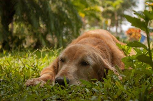 Foto profissional grátis de baixa, cachorro, fotografia de alfredo garcia, golden retriever