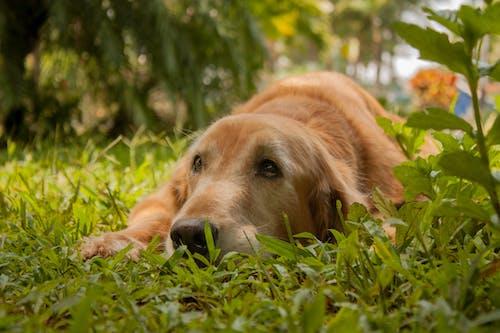 Foto profissional grátis de @alfredogarciaphotography, baixa, cachorro, golden retriever