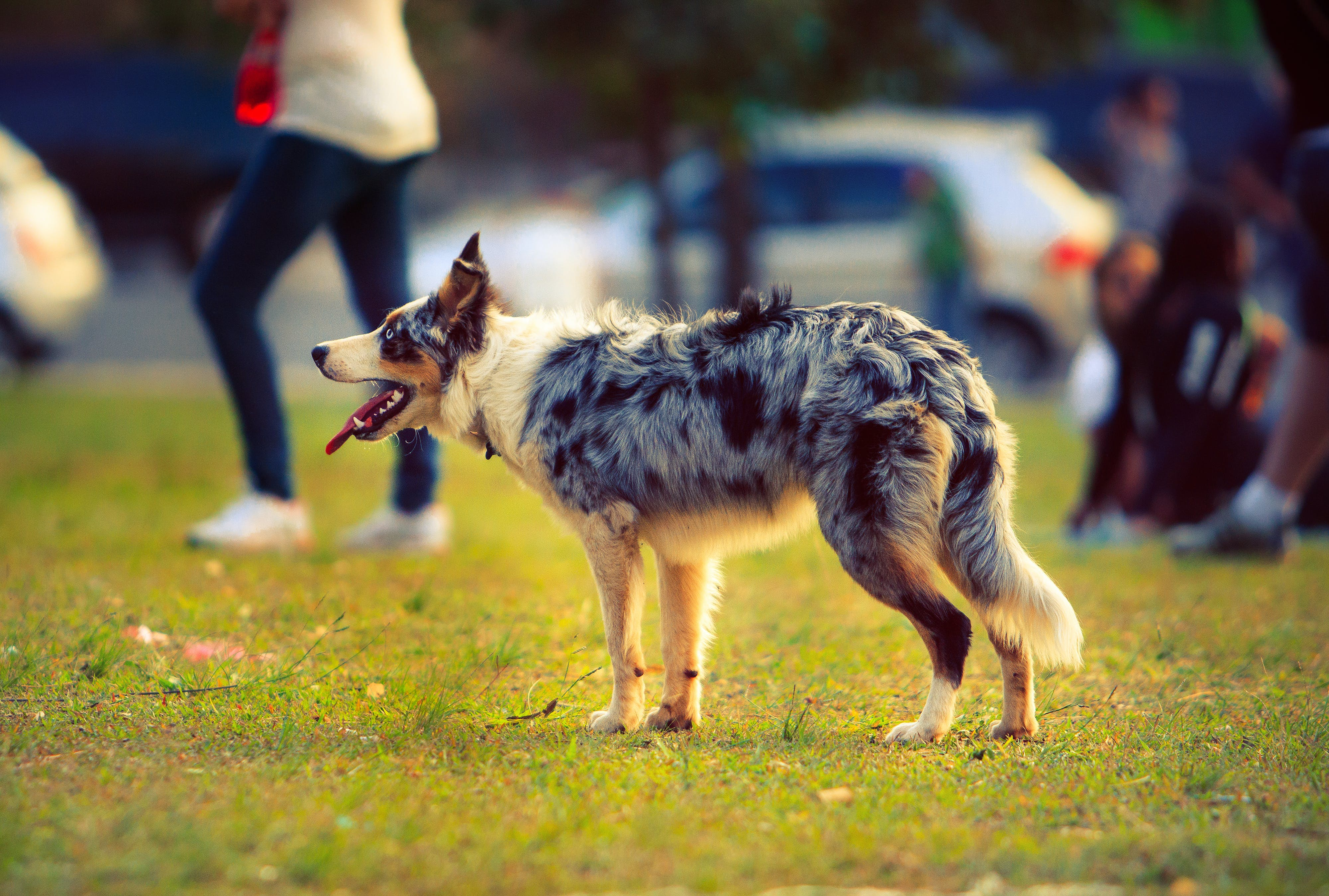 Free stock photo of animal care, animal lover, aussie, australian shepherd