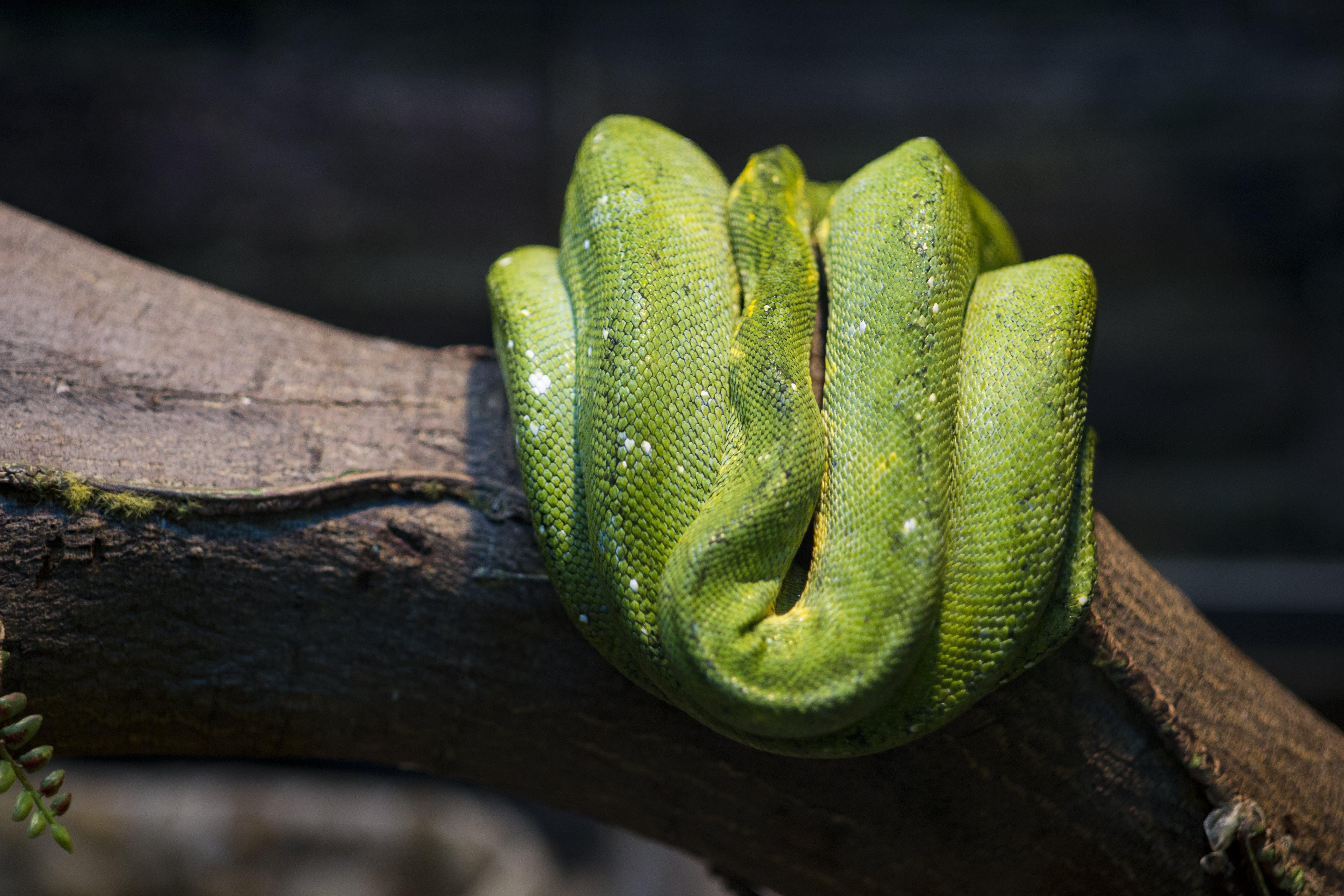Free stock photo of animal, green, skin, snake