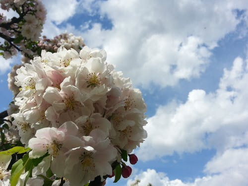 Free stock photo of cherry blossom, clouds, flower, sky