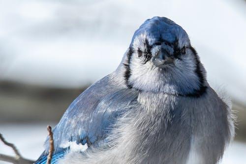 Безкоштовне стокове фото на тему «blue jay, Годівниця для птахів, пір'я, погляд»