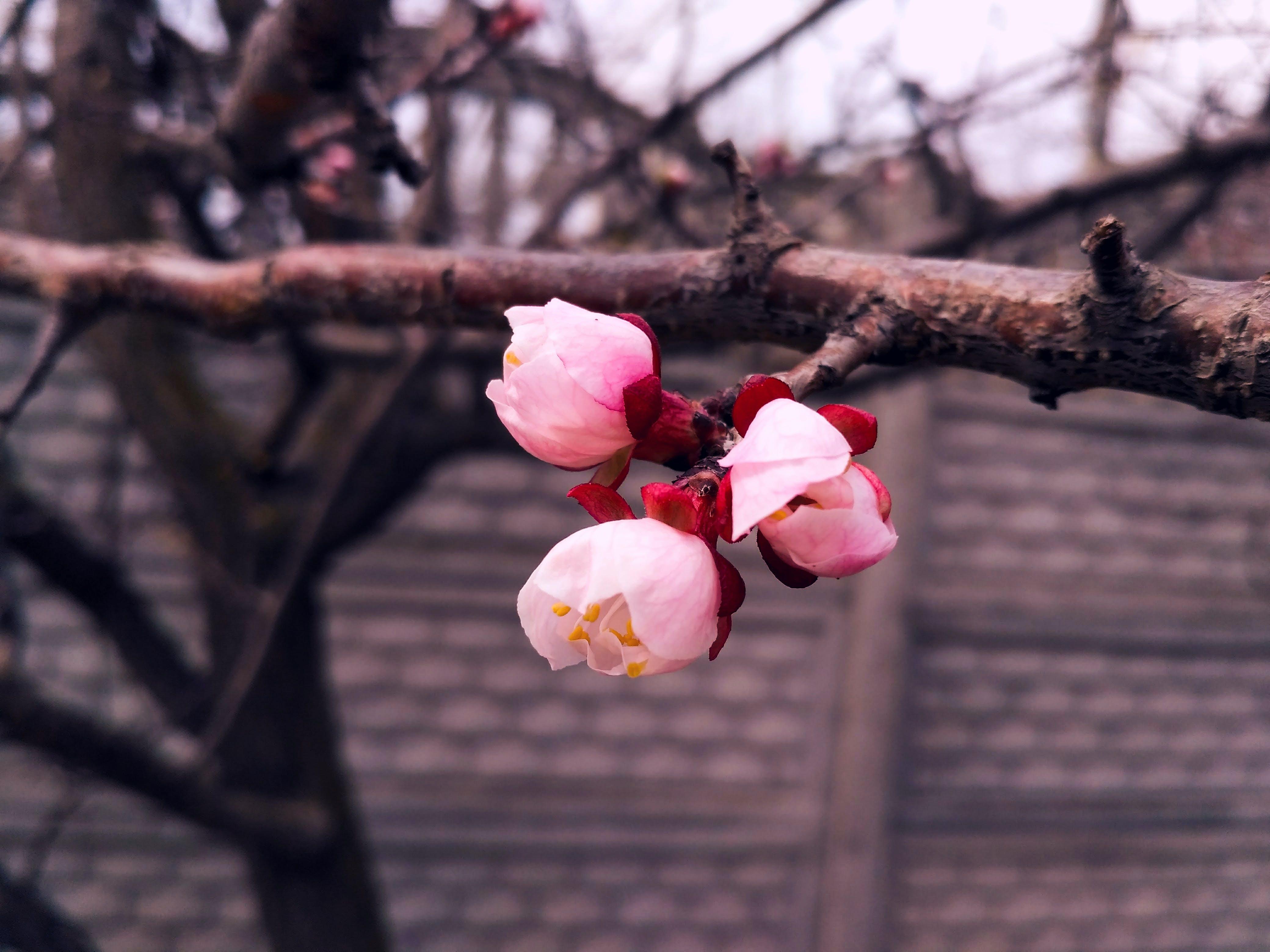 Foto profissional grátis de broto, flor, floração