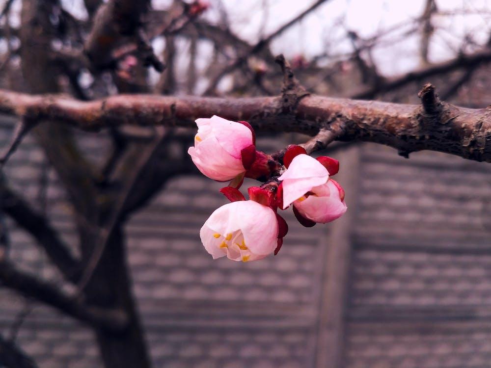 kwiat, kwitnąć, kwitnięcie