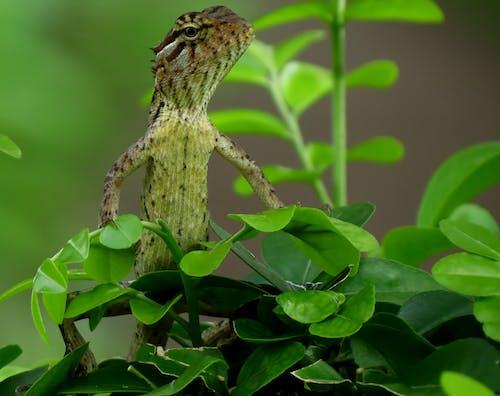 Безкоштовне стокове фото на тему «Рептилія, тварина, ящірка»